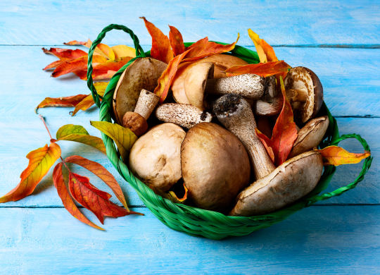 Forest picking mushrooms in green wicker basket. Fresh raw mushrooms on the blue table. Leccinum scabrum